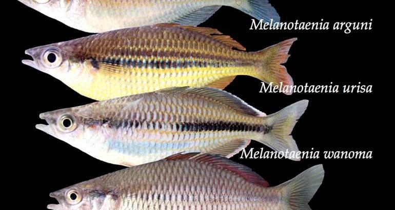 melanotaenia