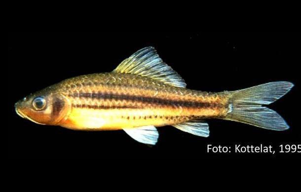 osteochilus_partilineatus